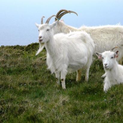 lana-cashmere-cachemira-alpaca-vicuña-llama-01